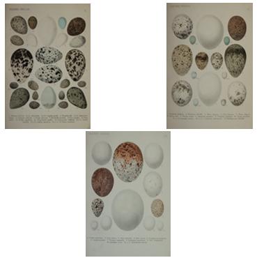 Die Vögel von Mittel-Europa und ihre Eier